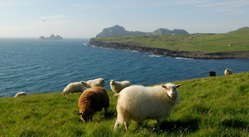 Sheeps in Iceland