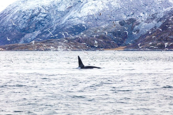 Orca whale and seagulls hunting fish in the arctic. Whale Watching Tromso.jpg
